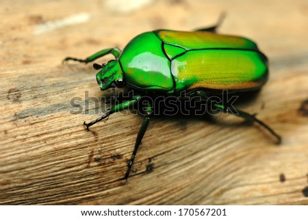 Chlorocala (Smaragdesthes) africana (Scarabaeidae) - stock photo