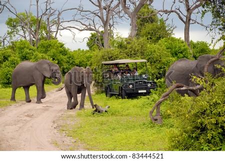 CHOBE, BOTSWANA - JAN 6:Tourists on safari game drive make photo close to wild elephants on January 6, 2008 in the Chobe National Park, Botswana. Game drive is most popular way to see wild animal - stock photo