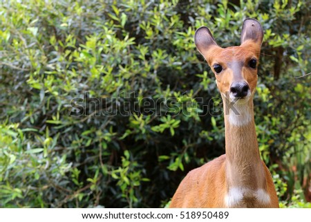 Chobe Bushbuck, Tragelaphus scriptttus ornatus, detail portrait of a female antelope in the wild.