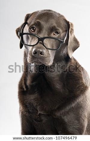 Choc Lab in Glasses - stock photo