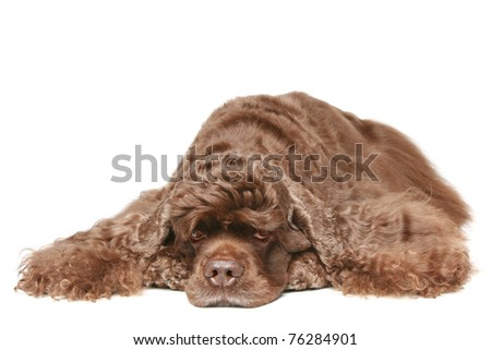 Chocolate American cocker spaniel resting on white background - stock photo