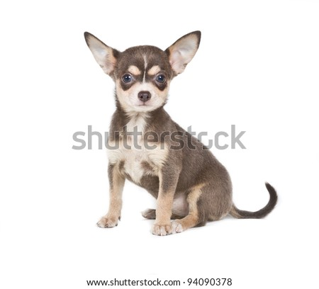 Chocolate and white Chihuahua puppy, 8 weeks old, standing in front of white background - stock photo
