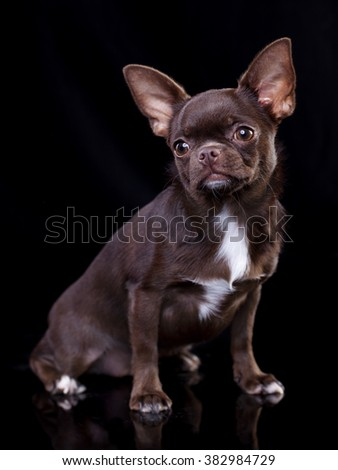 chocolate brown chihuahua in Black background