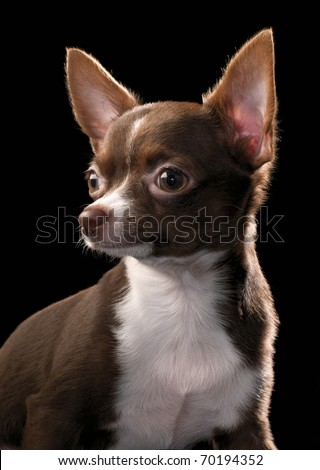 Chocolate brown Chihuahua with white chest  portrait close-up on black background - stock photo