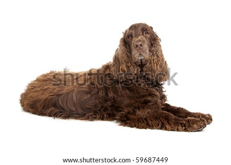 chocolate brown Cocker Spaniel isolated on white - stock photo