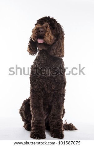 chocolate brown Labradoodle isolated on a white background
