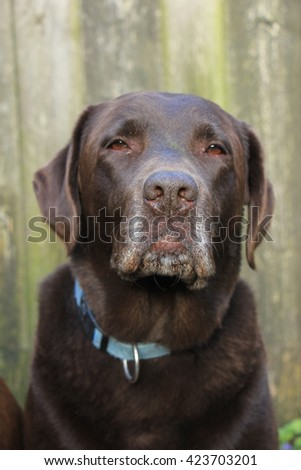 Chocolate brown labrador, female, eight years old