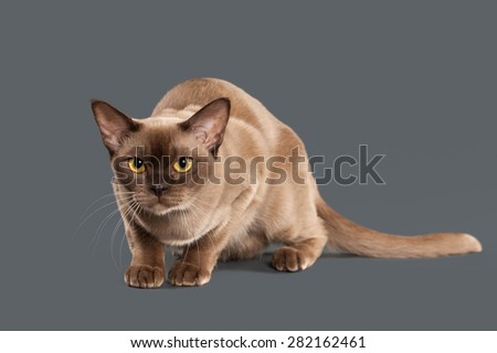 Chocolate Burmese cat of gray background