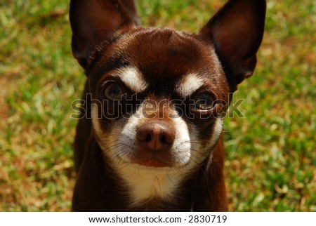 Chocolate Chihuahua - stock photo