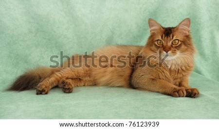 Chocolate female Somali cat - stock photo