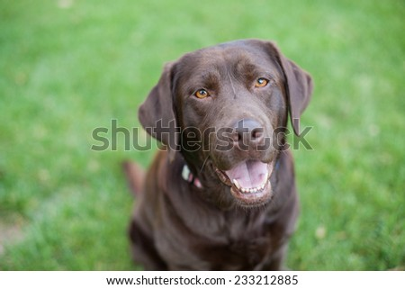 Chocolate lab dog smiles in the grass - stock photo