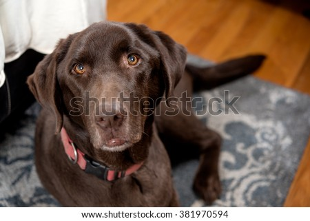 Chocolate Lab in a bedroom at the foot of the bed on the floor