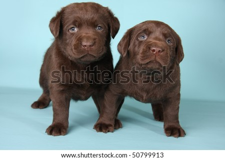 Chocolate lab puppies on blue. - stock photo
