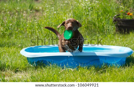 Chocolate lab puppy playing in her pool in the country on a hot summer day. - stock photo
