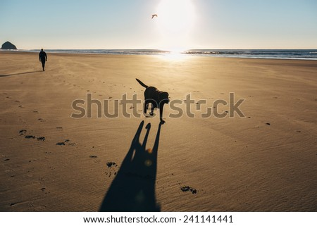 Chocolate Lab Running on Beach silhouette with bird in sky and owner behind him closer - stock photo