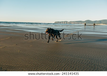 Chocolate Lab Running on Beach with owners far behind - stock photo