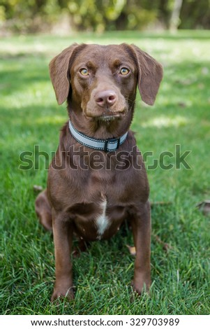 Chocolate lab sitting in the grass looking into the camera