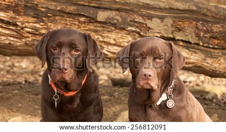 chocolate labrador - stock photo