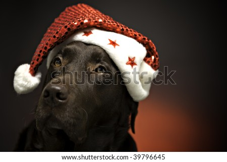 chocolate labrador at christmas wearing a santa hat - stock photo