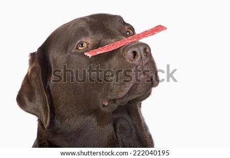 Chocolate Labrador Balancing a Treat on his Nose - stock photo