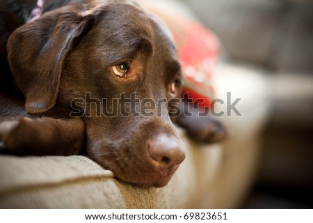 Chocolate Labrador dog - stock photo