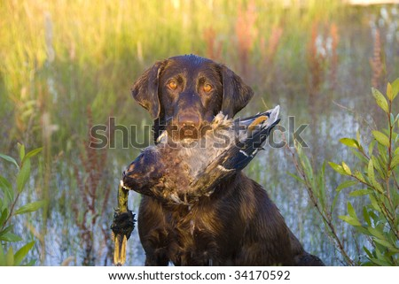 Chocolate Labrador Duck Hunting In A Pond - stock photo