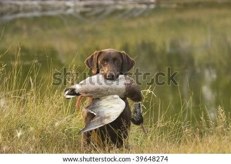 Chocolate Labrador holing a mallard duck - stock photo