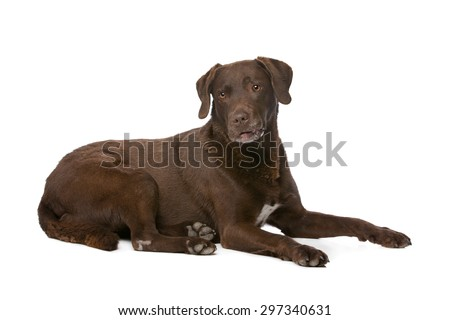 Chocolate Labrador in front of a white background - stock photo