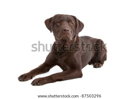 Chocolate Labrador in front of a white background