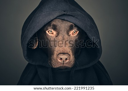 Chocolate Labrador in Hooded Top - stock photo