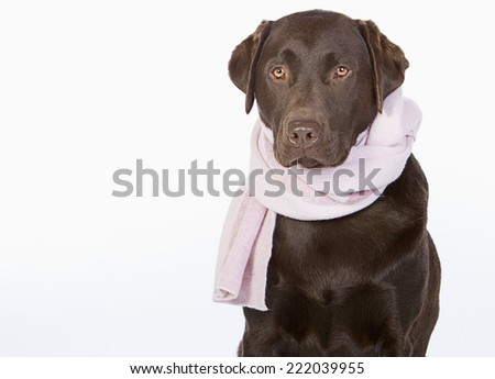 Chocolate Labrador in Pink Scarf - stock photo