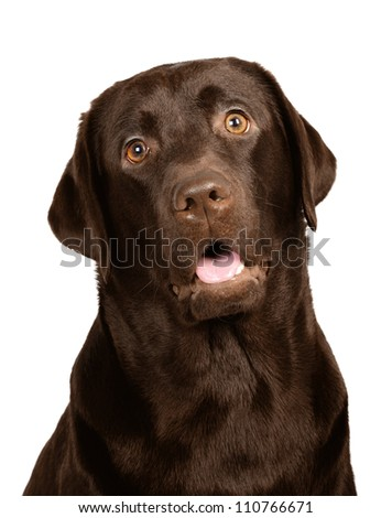 Chocolate labrador in studio