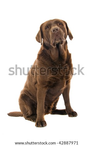 chocolate Labrador isolated on a white background - stock photo