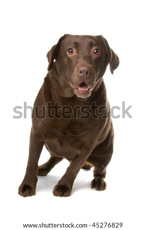 chocolate Labrador  isolated on a white background