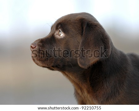 Chocolate Labrador puppy - stock photo