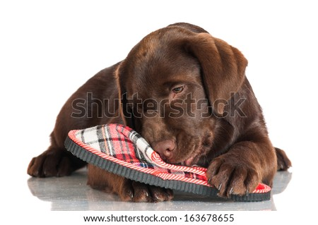 chocolate labrador puppy chewing slippers - stock photo