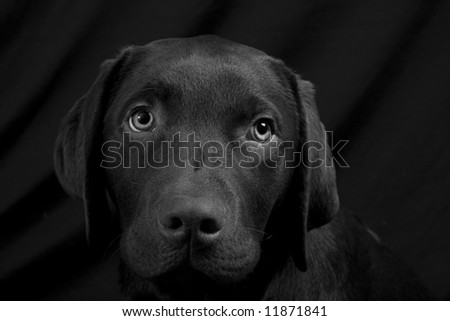Chocolate Labrador Puppy Head against Black Background - BW
