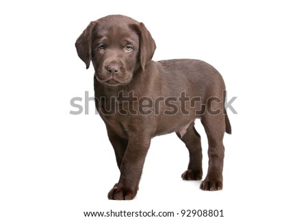 chocolate Labrador puppy in front of a white background - stock photo
