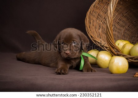 Chocolate labrador puppy lying on a brown background near basket of apples and looking into the camera - stock photo