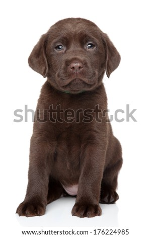 Chocolate Labrador puppy portrait on white background - stock photo