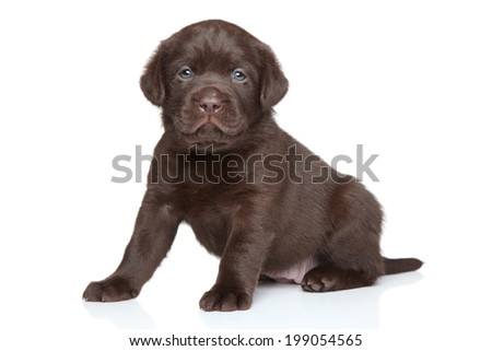 Chocolate Labrador puppy posing on white background - stock photo