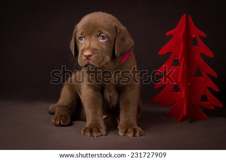 Chocolate labrador puppy sitting on brown background near the red Christmas tree. - stock photo