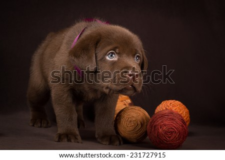 Chocolate labrador puppy standing on a brown background. - stock photo