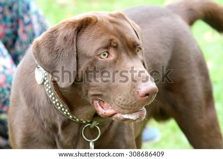 Chocolate labrador retriever. - stock photo