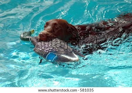 Chocolate Labrador Retriever - stock photo