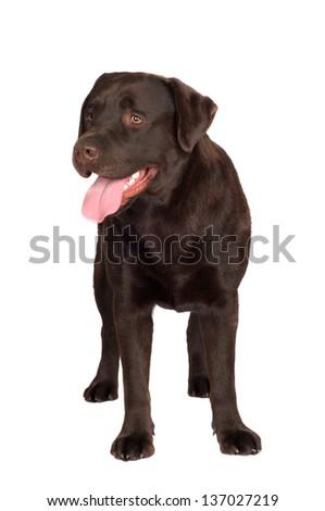 chocolate labrador retriever dog - stock photo