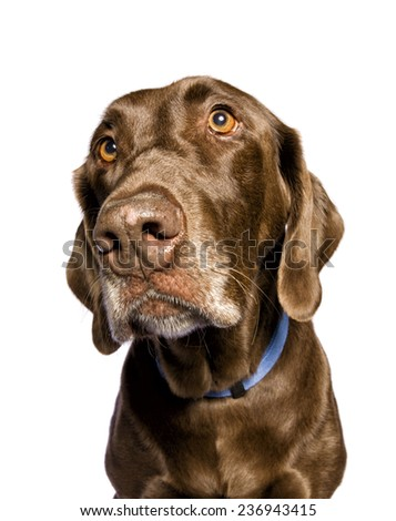 Chocolate Labrador Retriever dog head shot up close showing inquisitive look isolated on white background