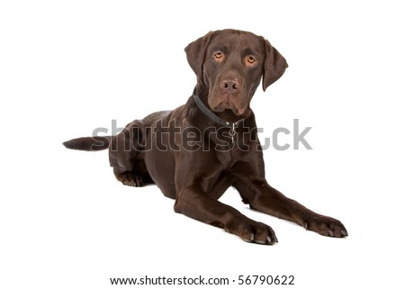 chocolate labrador retriever dog lying on the floor, isolated on a white background - stock photo