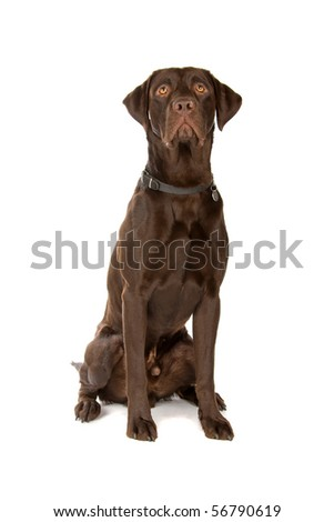 chocolate labrador retriever dog sitting, isolated on a white background