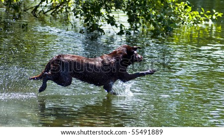 Chocolate Labrador Retriever leaps into water at a dog park. Happy water dog jumps in to a retrieve a ball